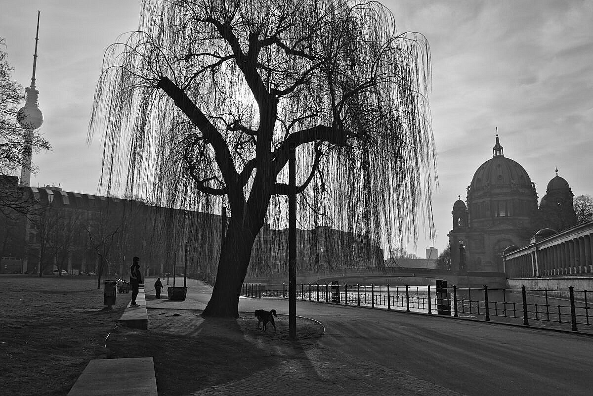 A willow in James-Simon Park with the Berliner Dom and the TV tower in the background