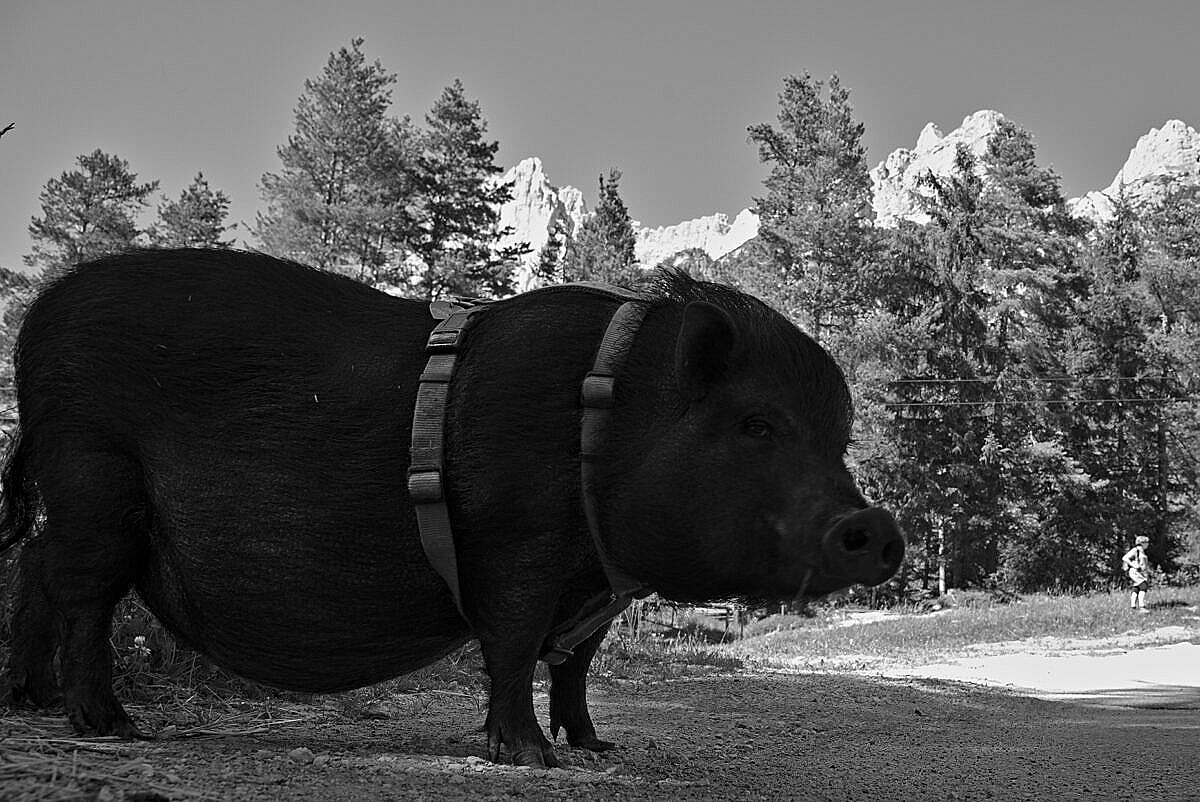 A pet pig in San Vito di Cadore in the Dolomites, Italy.